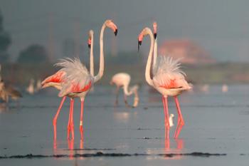 flamencos en el Delta del Ebro