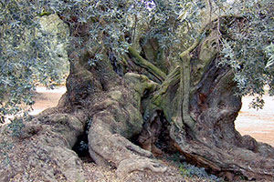 olivos milenarios en ulldecona